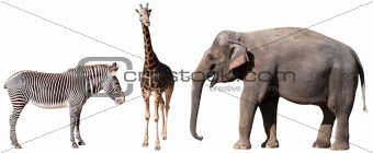 Zebra, Giraffe and Elephant