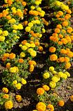 Marigold flowers