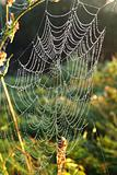 cobweb with dew