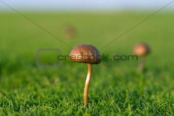 Small mushroom in grass