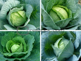cabbages set
