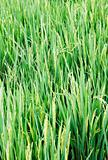 tall long rice grass paddy field
