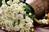 White chrysanthemums in vintage jug