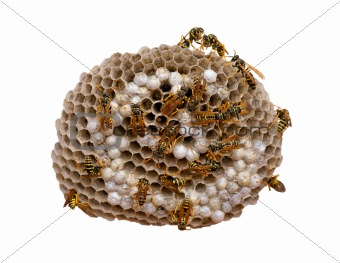 Wasp Nest - with clipping path
