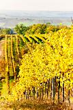 vineyard in autumn, Czech Republic