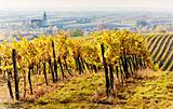 vineyards in autumn, Unterretzbach, Lower Austria, Austria