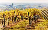 vineyards in autumn, Unterretzbach, Lower Austria, Austria