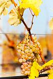 white grape in vineyard, Czech Republic