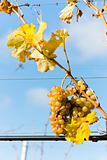 white grapes in vineyard, Czech Republic