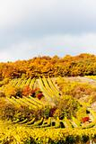 autumnal vineyards in Retz region, Lower Austria, Austria