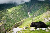 Cow on mountains pasture