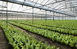 chard growing greenhouse