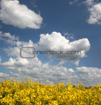 Brilliant rape field