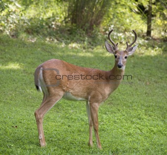 Posing buck