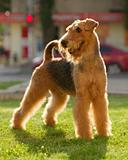 Grown-up airedale terrier set to a point outdoors on a green law