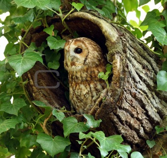 Tawny Owl