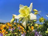 beautiful flower (aquilegia) on sunny garden
