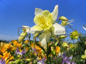 beautiful flower (aquilegia) on sunny garden