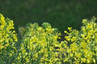 Broccoli flowers