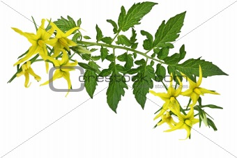 Tomato Leaf and flower