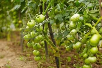 rich harvest of tomatos