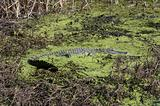 Alligator in Algae Filled Swamp