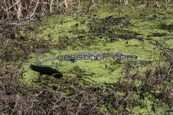 Alligator in Algae Filled Swamp