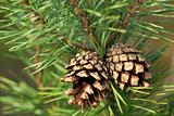 pine-tree