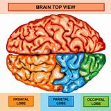 Human brain top view