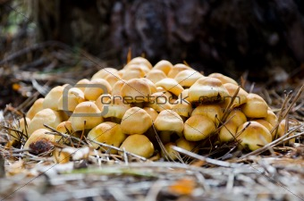 mushrooms Hypholoma