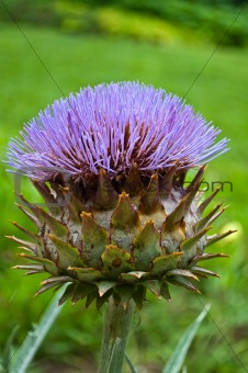 fresh artichoke flower