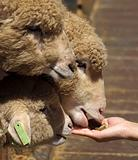 Young Sheep are Hand Fed