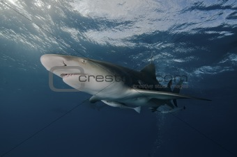 Glaring lemon shark