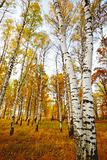 forest birch