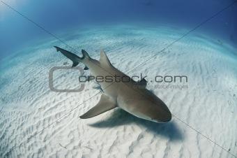 Topview of a lemon shark