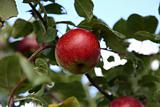 Ripe apple during autumn season