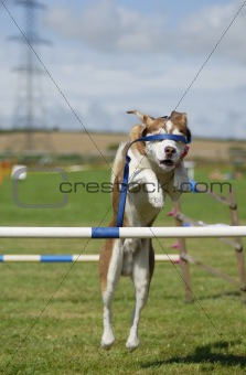 Blindfolded Dog Agility Jump