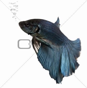 Blue Siamese fighting fish, Betta Splendens, swimming in front of white background