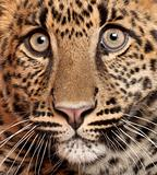 Close-up of Leopard, Panthera pardus, 6 months old