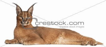 Caracal, Caracal caracal, 6 months old, lying in front of white background