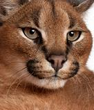 Close-up of Caracal, Caracal caracal, 6 months old, in front of white background