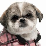 Close-up of Shih Tzu, 6 years old, in front of white background