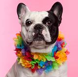 French Bulldog, 3 years old, wearing Hawaiian lei front of pink background
