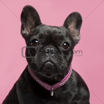 Close-up of French bulldog, 2 years old, wearing collar in front of pink background