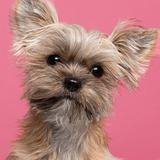 Close-up of Mixed-breed dog, 7 months old, in front of pink background