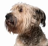 Close-up of Bouvier des Flandres, 2 years old, in front of white background
