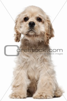 American Cocker Spaniel puppy, 4 months old, sitting in front of white background