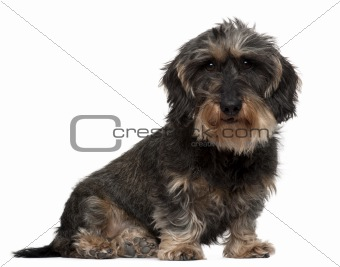 Dachshund, 8 years old, sitting in front of white background