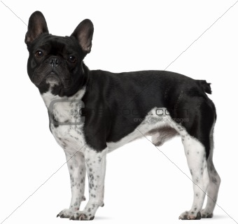 French bulldog, 5 years old, standing in front of white background