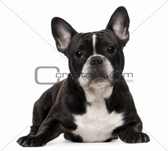French Bulldog, 18 months old, lying in front of white background